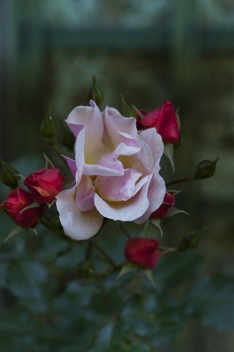 les jardins de Bagatelle, roses