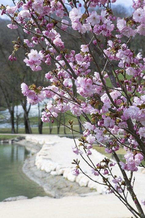 hanami-cerisiers-du-japon-2