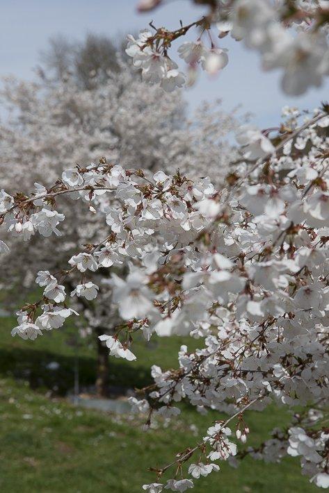 hanami-cerisiers-du-japon-3