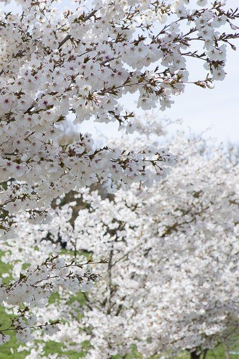 hanami-cerisiers-du-japon-4