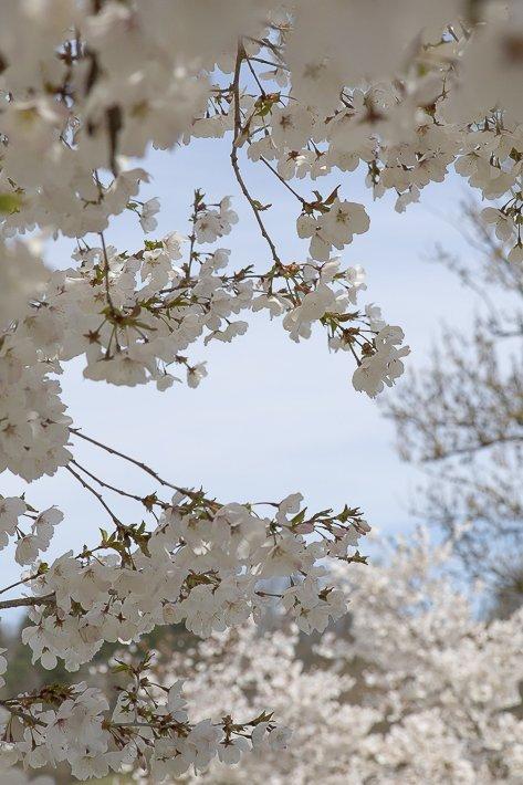 hanami-cerisiers-du-japon-5