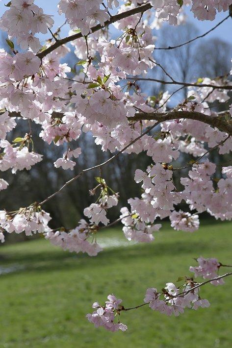 hanami-cerisiers-du-japon-6
