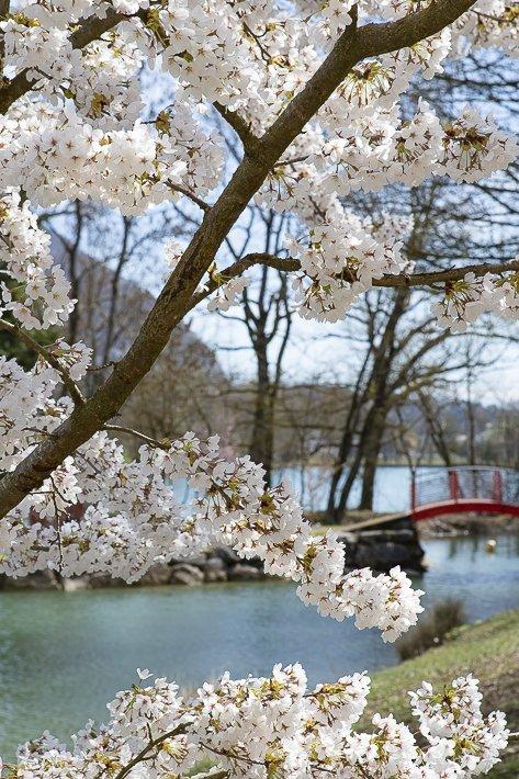 hanami-cerisiers-du-japon-7