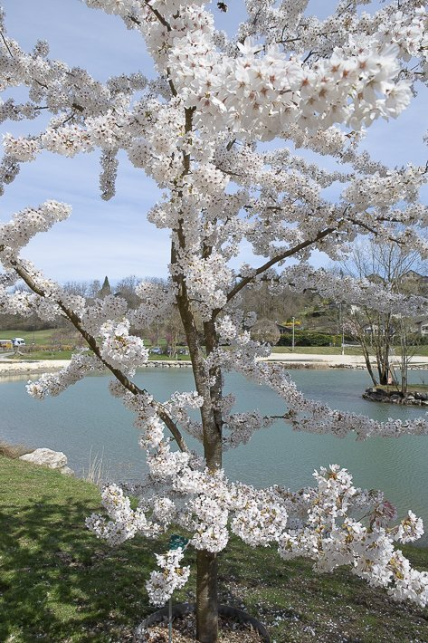 hanami-cerisiers-du-japon-8